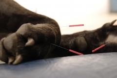 Akupunktur hund